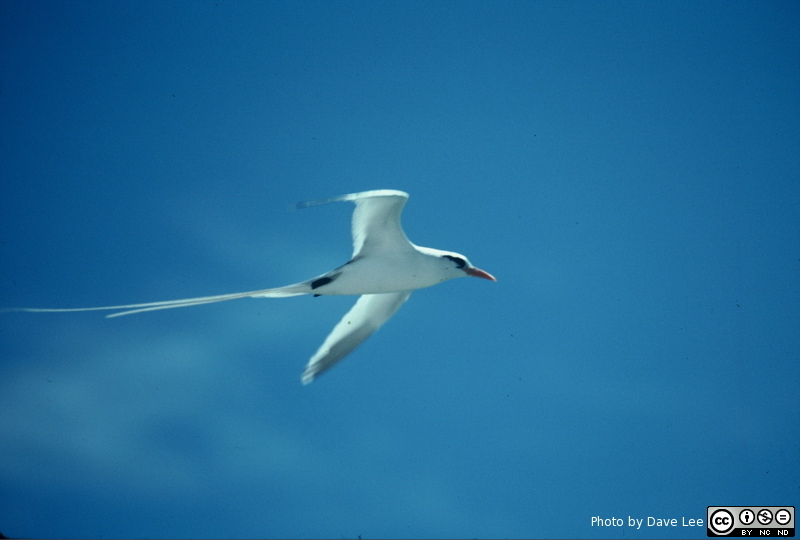 Adult in Flight, Warderick Wells, Exumas, Bahamas. Photo by Dave Lee (1991).